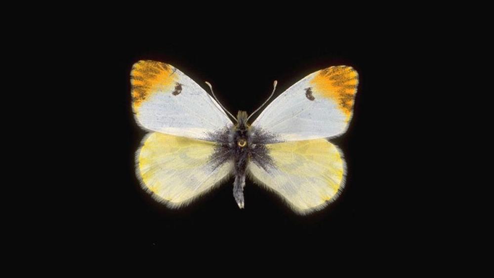 Euphenoides-femmina